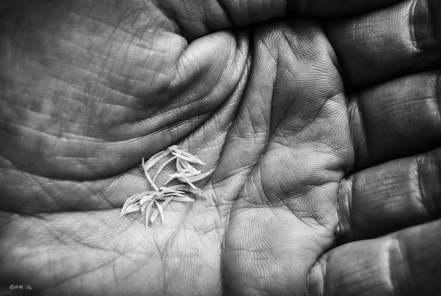 Slivers of cut finger nails in palm of mans hand. Monochrome Landscape. © P. Maton 2015 eyeteeth.net