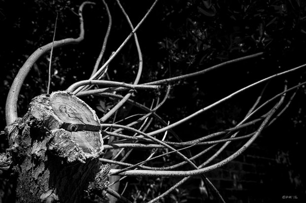 Sawn off tree trunk with shoots sprouting like tentacles against dark background. Hove UK. Monochrome Landscape. © P. Maton 2015 eyeteeth.net