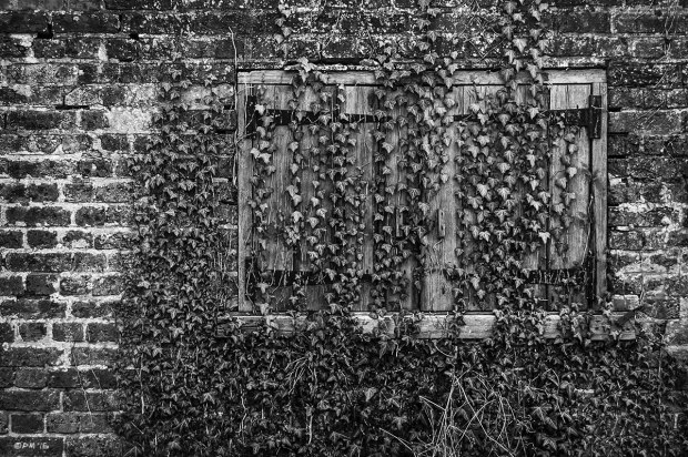 Ivy growing over weathered wooden window shutters in old brick wall. Saddlescombe Farm East Sussex UK. Monochrome Landscape. © P. Maton 2015 eyeteeth.net