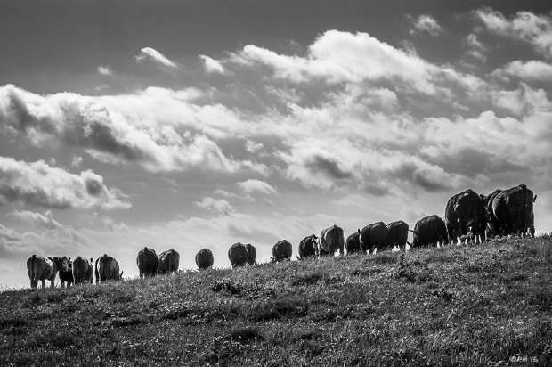 Herd of cattle facing away from camera silhouetted on grassy hillside against sky with scattered cloud. Rural Scene. Wolstonbury Hill East Sussex UK. Monochrome Landscape. © P. Maton 2015 eyeteeth.net