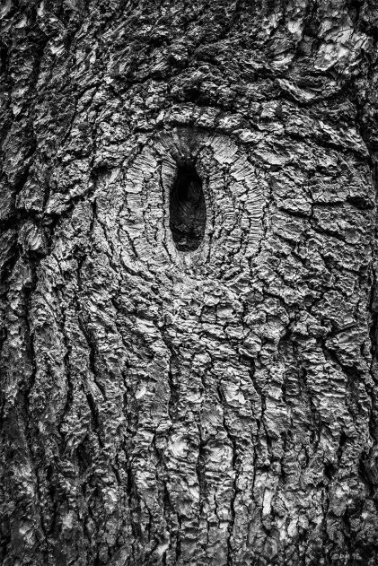 Branch skar eye in bark of Fir or Pine tree, detail. Sheffield Park sussex UK. Monochrome Portrait. © P. Maton 2015 eyeteeth.net