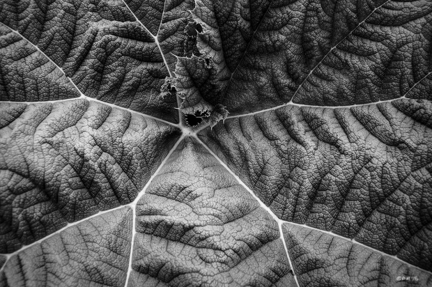 Giant Rhubarb leaf, Sheffield Park Sussex UK. Monochrome Landscape. © P. Maton 2015 eyeteeth.net