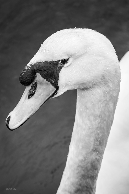 Mute Swan close up at Cuckmere Haven East Sussex UK. Monochrome Portrait. © P. Maton 2015 eyeteeth.net
