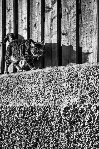 Cat walking along wall next to wooden fence, casting shadow. Monochrome Portrait. © P. Maton 2015 eyeteeth.net