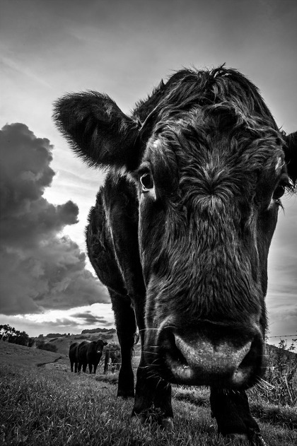Bullock, portrait of inquisitive young male cow up close to camera with with two others in background, cloud formation and view to Devils Dyke in background. Saddlescombe Farm, Sussex UK. Monochrome Portrait. © P. Maton 2015 eyeteeth.net