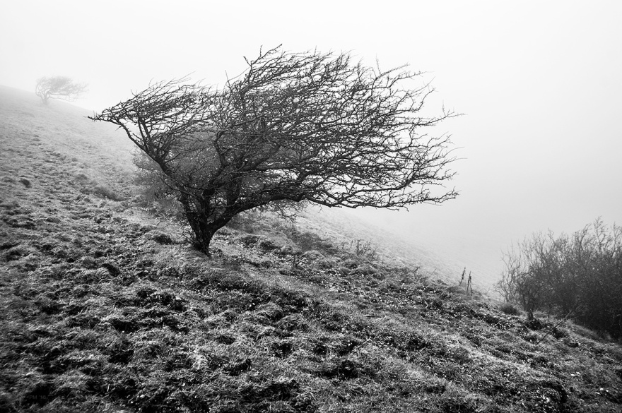 Windswept Hawthorn tree on hillside in winter fog. Firle Beacon, South Downs National Park, East Sussex UK. Monochrome Landscape. © P. Maton 2016 eyeteeth.net