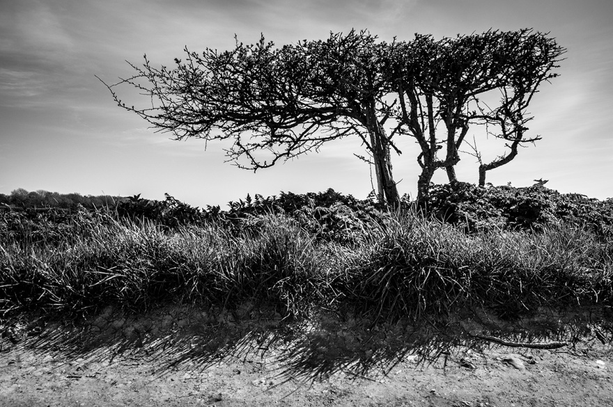 windblown Hawthorn hedge remnant on wayside over Ewe Dean near Alfriston East Sussex UK. Black and white rural countryside photograph. © P. Maton 2016 eyeteeth.net