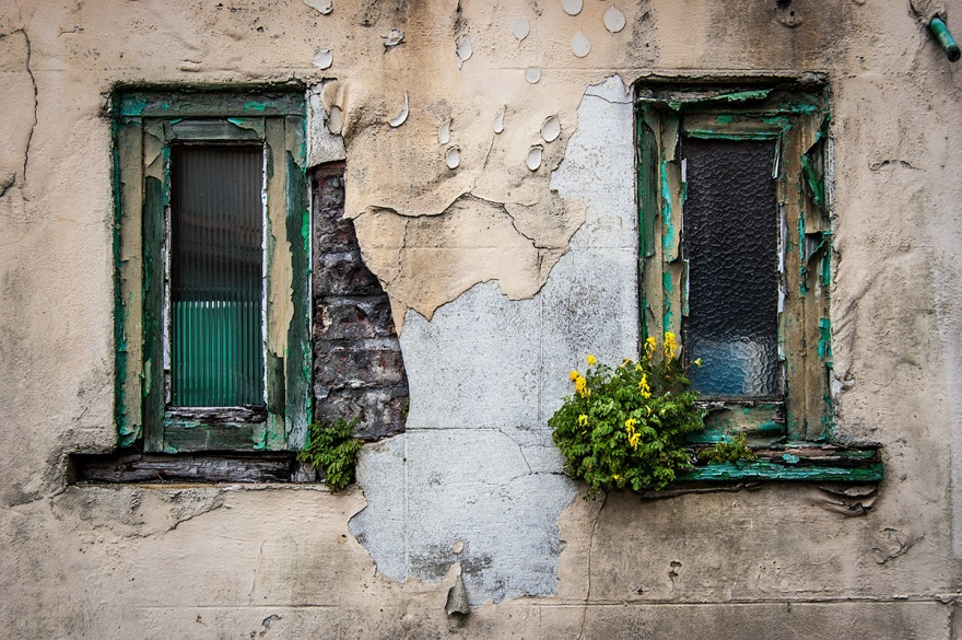 Dilapidated wall with two windows, flaking paintwork and plants growing out of wall. Farm Road Hove UK. Urban street photography. © P. Maton 2016 eyeteeth.net