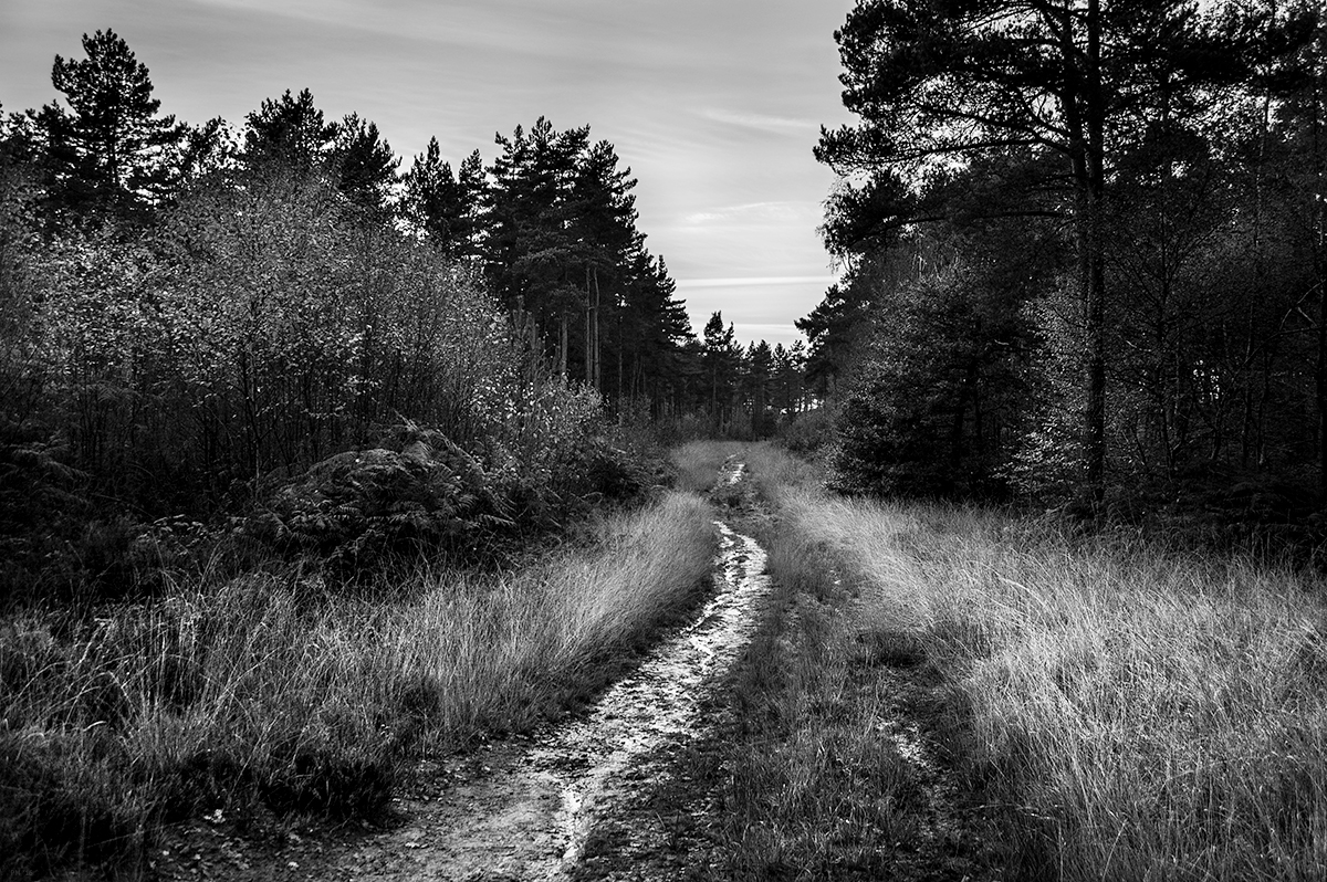 Path through pine plantation Scragged Oak Hill, St. Leonrds Forest Horsham West Sussex. Black and white rural countryside landscape at dusk. © P. Maton 2016 eyeteeth.net