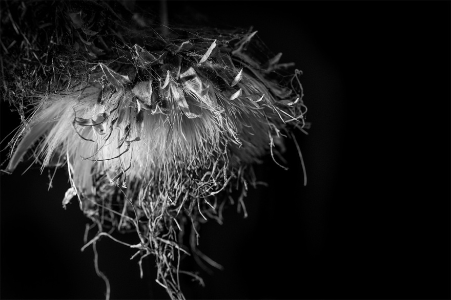 Dead thistle head with cobwebs and dust. Monochrome black and white Fujifilm XT-2 XF16mm. Still life photography © P. Maton 2016 eyeteeth.net
