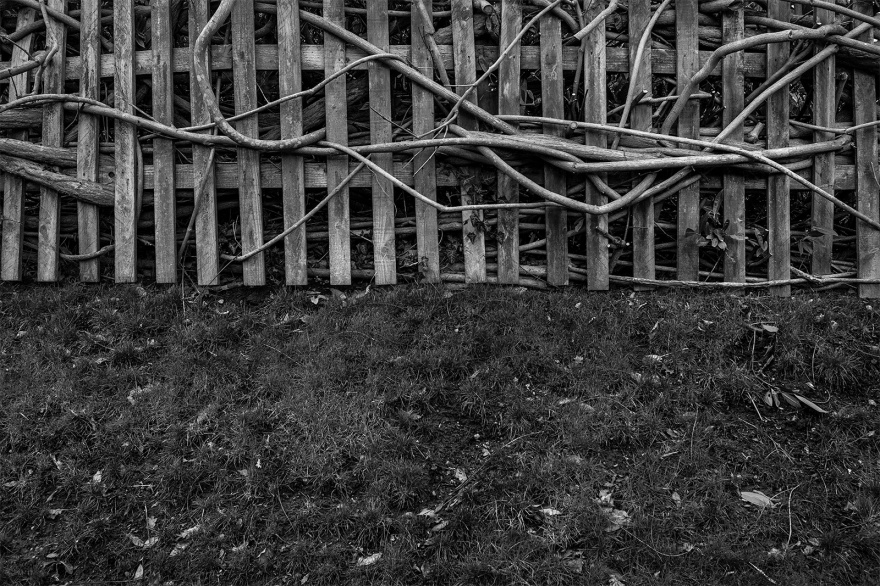Wooden fence intertwined with Wisteria stems. Drury Lane, Mortimer Berkshire UK. Rustic rural black and white photography. © P Maton 2017 eyeteeth.net