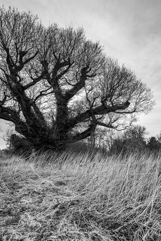 The Royal Oak tree at Barcombe Mills East Sussex UK, spreading branches in winter with dead nettle stems in foreground, Black and white rural portrait, nature trees. © P. Maton 2017 eyeteeth.net