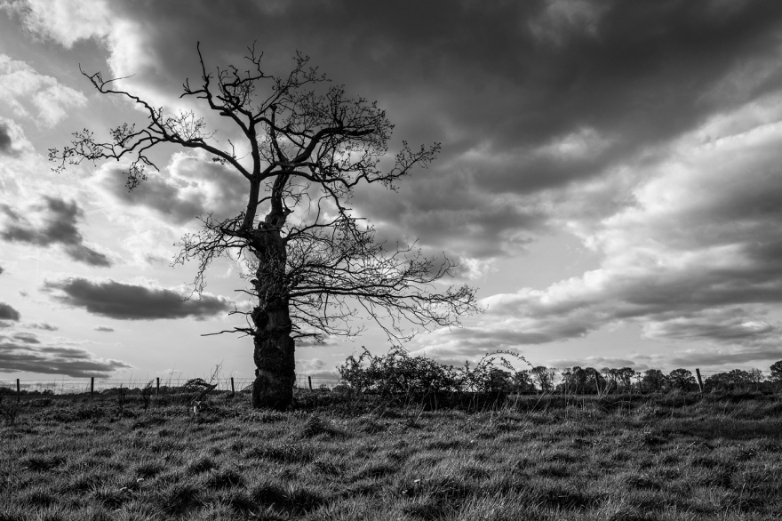 Old scraggy Oak tree standing by fence with meadow in foreground and dramatic cloudy sky. Stratfield Mortimer Berkshire UK black and white rural British landscape © P Maton 2017 eyeteeth.net