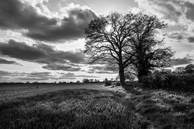 Oak trees by hedge and margin of wheat field wit dramatic clouds and emerging sun by Pitfield Lane, Stratfield Mortimer Berkshire UK. Black and white rural landscape British countryside. © P. Maton 2017 eyeteeth.net