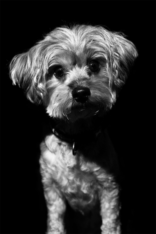 Portrait of small terrier dog with black background and dark shadows © P. Maton 2017 eyeteeth.net