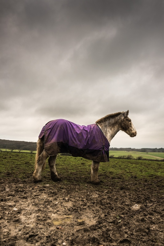 Cob horse with short cut mane in purple coat standing in muddy field, Poynings West Sussex UK rural colour horse profile photograph ©P. Maton 2017 eyeteeth.net