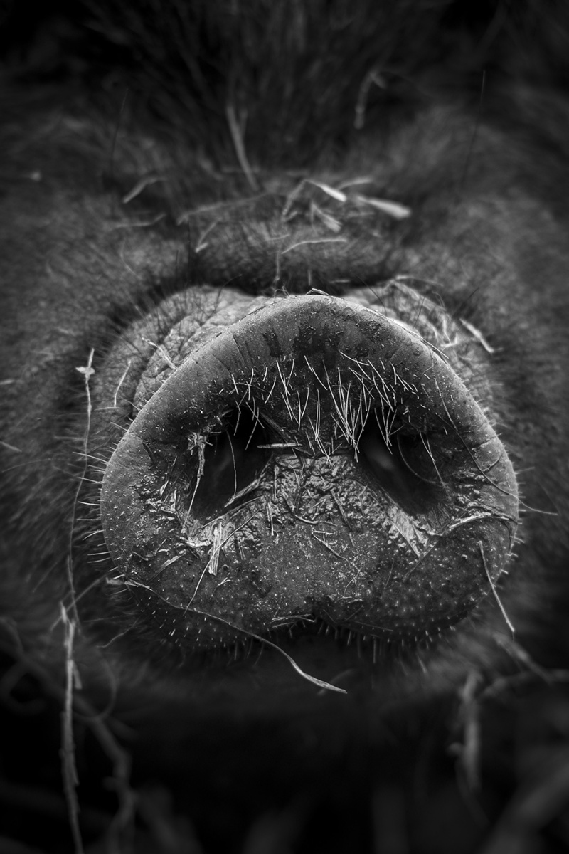Whiskery pig snout closeup, black and white rural farm photograph, West Sussex UK © P. Maton 2018 eyeteeth.net