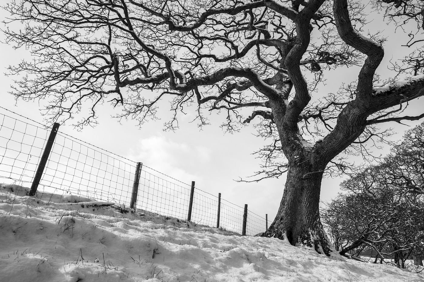 Snow scene with Oak tree reaching over fence line, Poynings West Sussex UK black and white rural landscape photograph © P. Maton 2018 eyeteeth.net