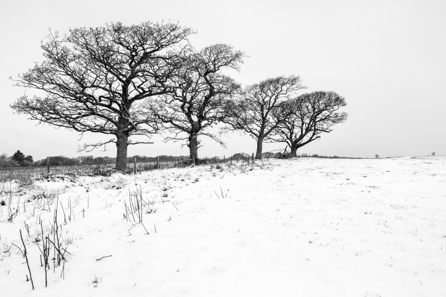 Snow scene with four Oak trees along fence line at edge of field leading lines into distance, Poynings West Sussex UK black and white rural landscape photograph © P. Maton 2018 eyeteeth.net