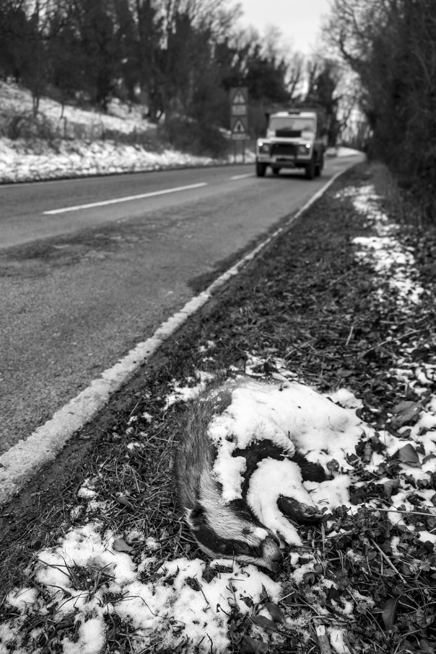 Dead badger partially covered with snow by roadside with landcover approaching, Saddlescombe Road West Sussex UK black and white rural documentary countryside photograph © P. Maton 2018 eyeteeth.net
