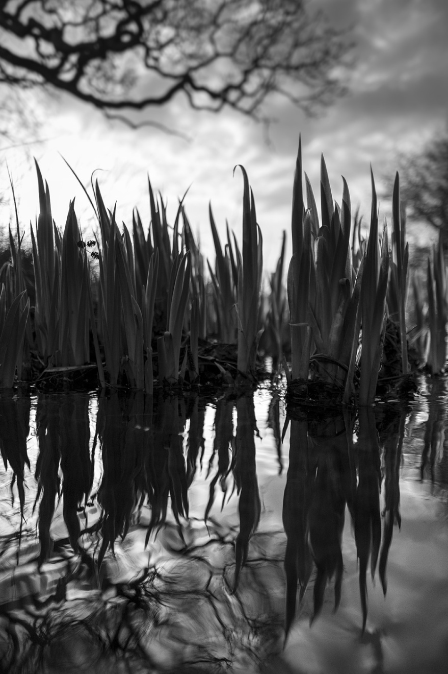 Young gate reeds in stream with reflections in water Mill Lane Poynings West Sussex UK black and white nature  landscape photography © P. Maton 2018 eyeteeth.net