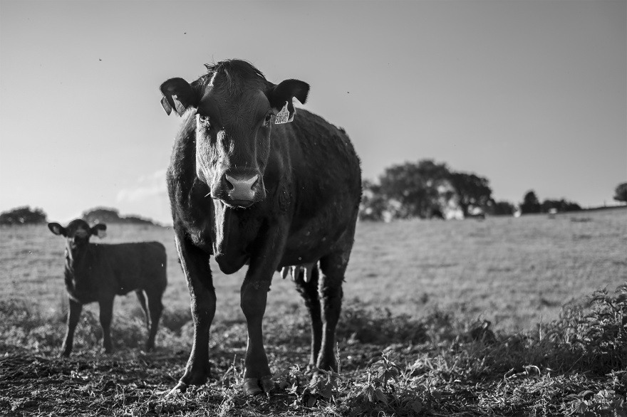 Female cow looking at viewer with young calf beside and meadow in background lit from the left by low springtime evening sun, Poynings West Sussex UK rural black and white landscape photograph ©P. Maton 2018 eyeteeth.net