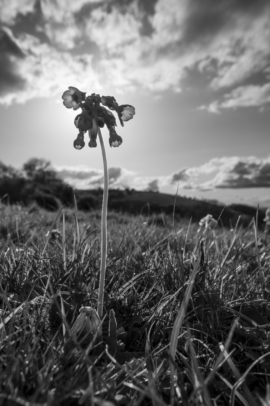 Black and white closeup wide angle portrait of back lit Cowslip flower in front of sun on chalk downland with Devils Dyke in background Soth Downs country park Saddlescomb West Sussex rural landscape UK ©P. Maton 2018 eyeteeth.net