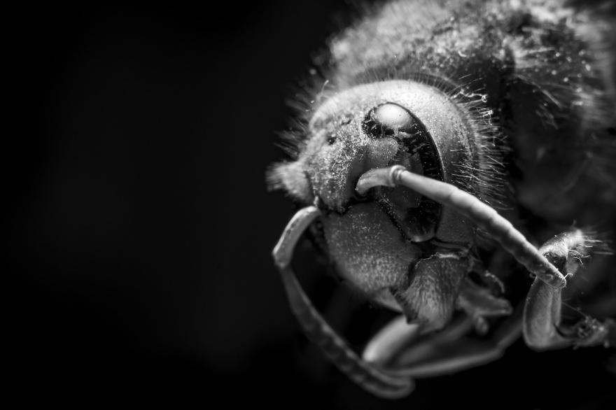 Artistic monochrome composition macro close up of dead European Hornet Vespa Crabro head showing compound eye against dark background black and white ©P. Maton 2018 eyeteeth.net