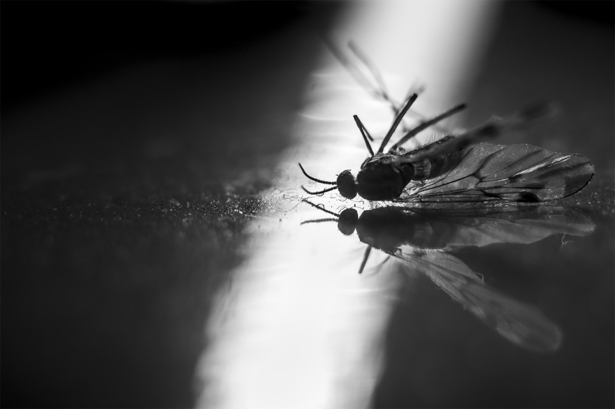 Black and white macro photograph of dead mosquito mirrored on reflective surface lit by shaft of light monochrome landscape closeup nature insect ©P. Maton 2018 eyeteeth.net