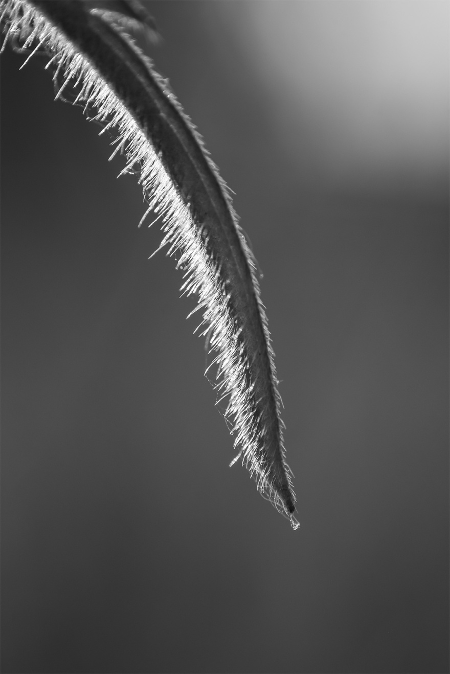 pointed leaf tip with trichome hairs illuminated by sunlight in abstract macro composition monochrome black and white portrait photograph ©P. Maton 2018 eyeteeth.net