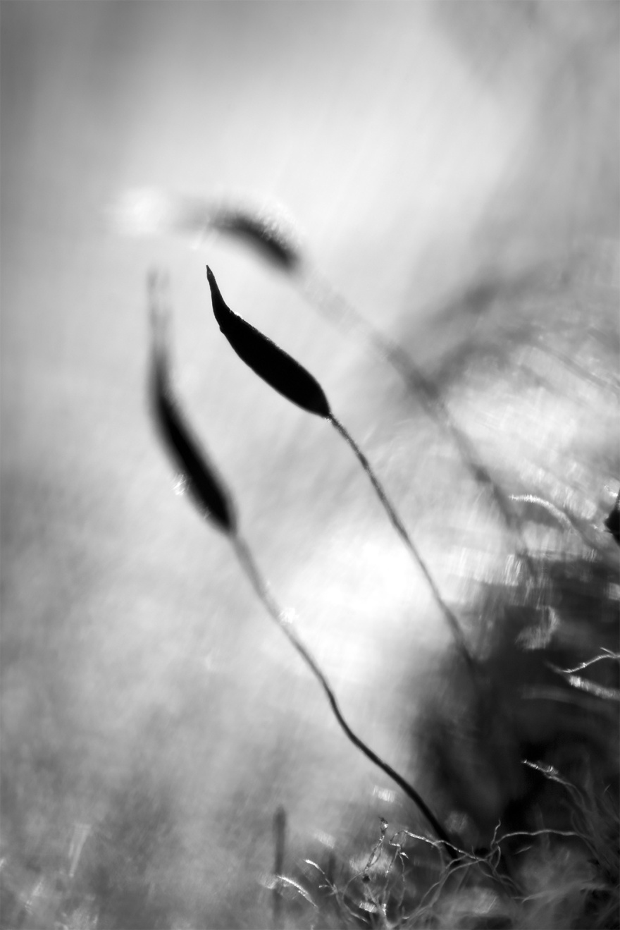 Moss sporophytes of Tortula muralis silhouetted by sunlight, macro monochrome portrait composition ©P. Maton 2018 eyeteeth.net