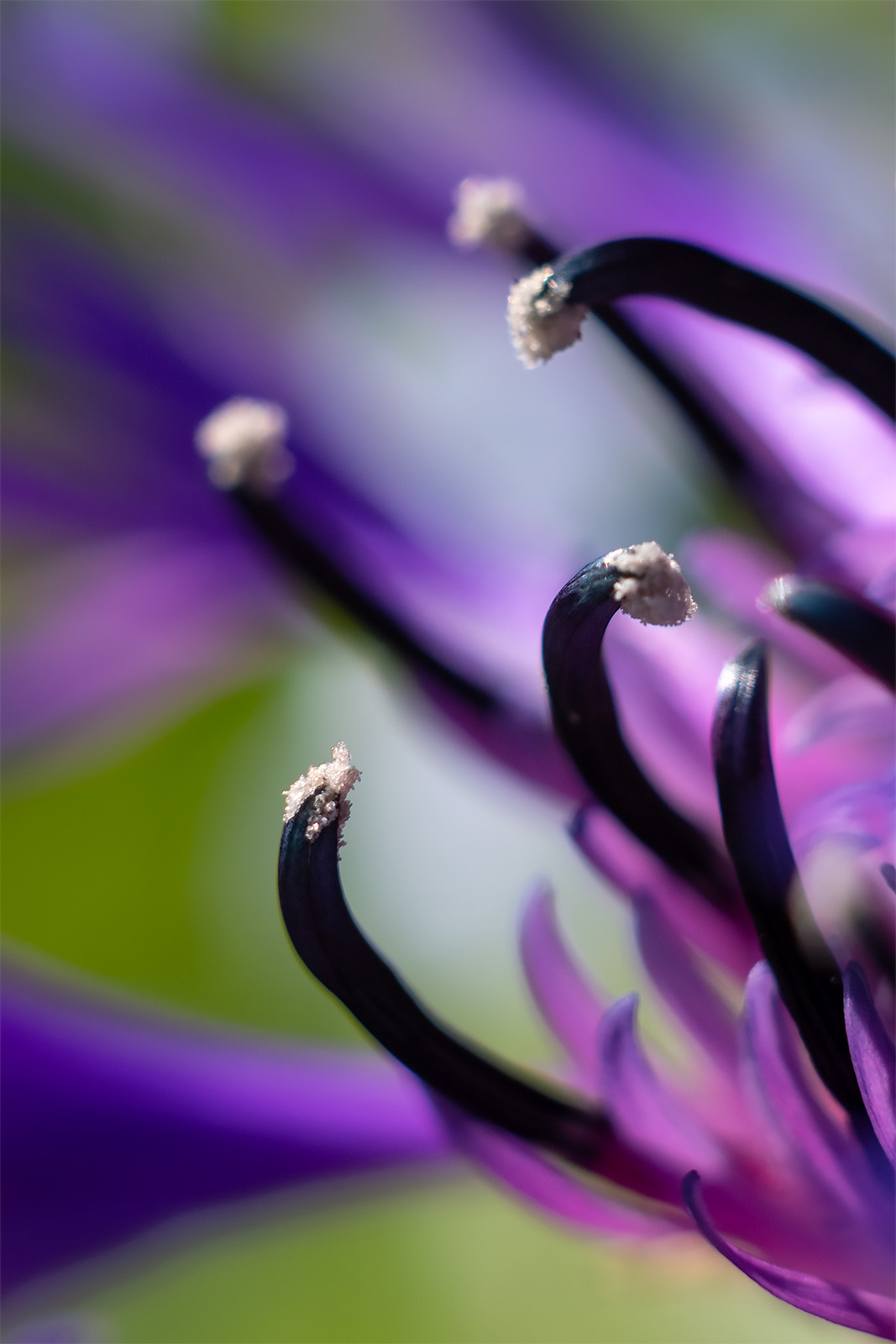 macro closeup of Mountain Cornflower Centaurea Montana flower stamen with purple and greed bokeh in background colour nature portrait ©P. Maton 2018 eyeteeth.net
