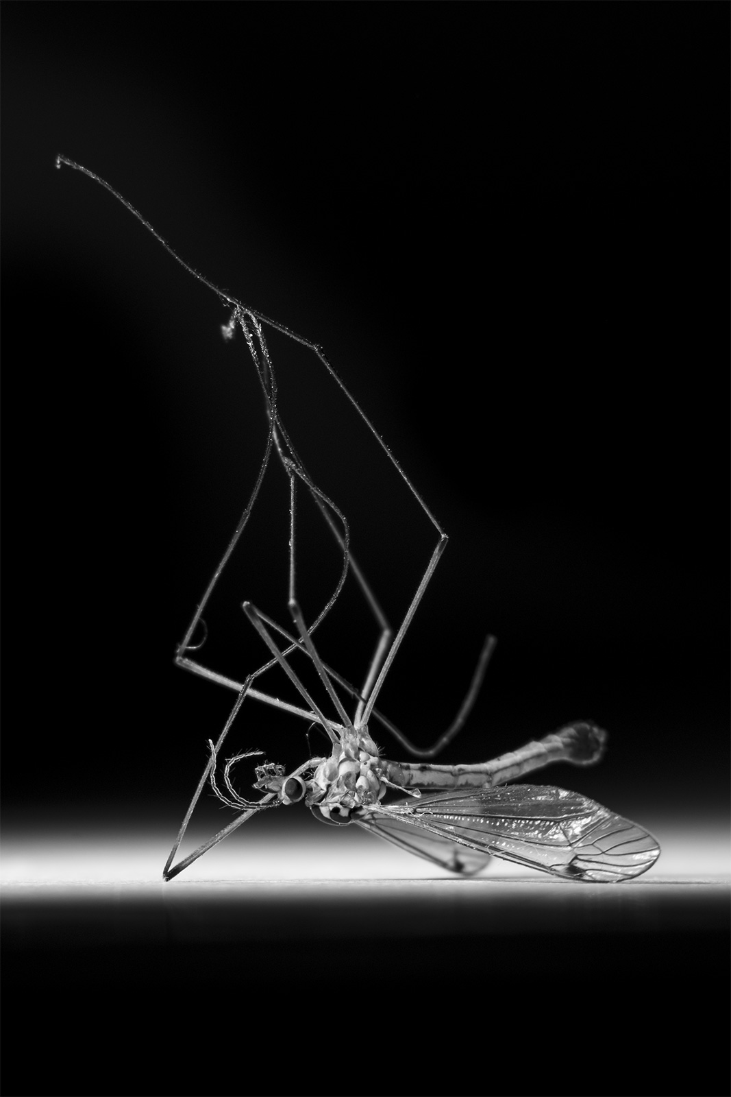 Dead Crane Fly Tipulidae on back with legs in the air  black and white monochrome macro portrait photograph   P. Maton 2018 eyeteeth.net