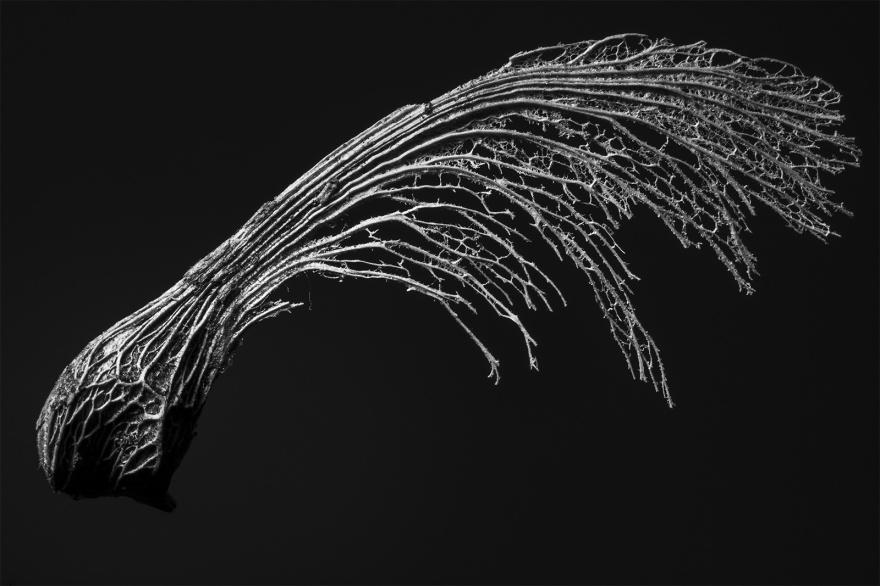 Skeletal Sycamore key against dark background monochrome macro nature biology photograph ©P. Maton 2018 eyeteeth.net