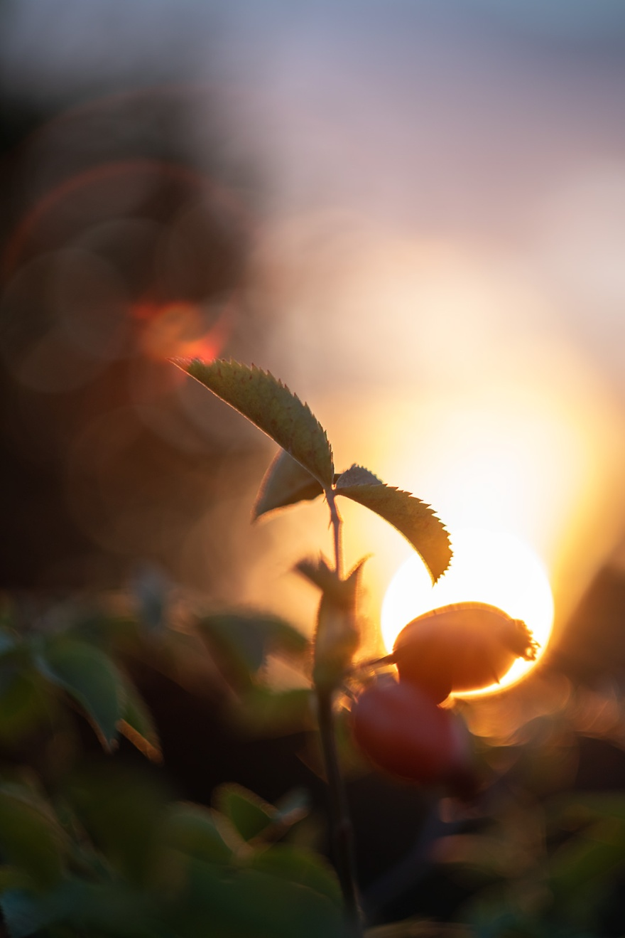 Sun set behind rose hips and leaves with dramatic colourful bokeh and lens flare golden hour nature photograph colour portrait ©P. Maton 2018 eyeteeth.net