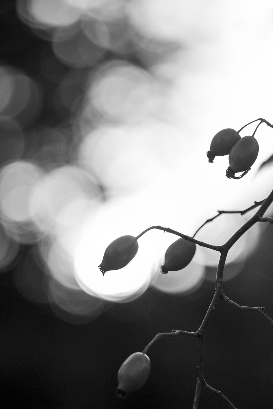Rose hips silhouetted against sunset bokeh abstract composition monochrome portrait © P. Maton 2018 eyeteeth.net