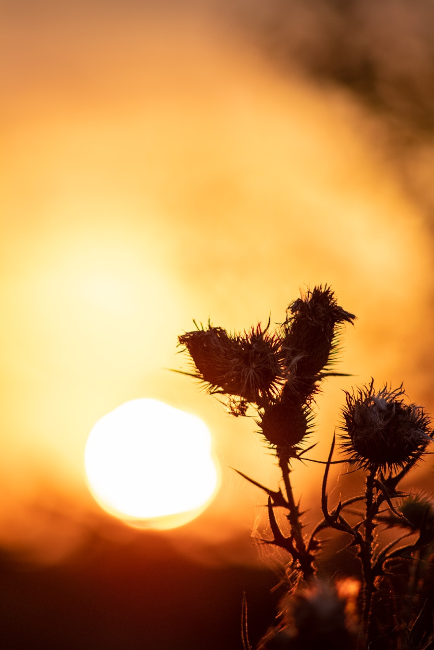 Thistle seed heads with glowing sunset in background, Mill Lane Poynings West Sussex UK colour nature photograph portrait ©P. Maton 2018 eyeteeth.net