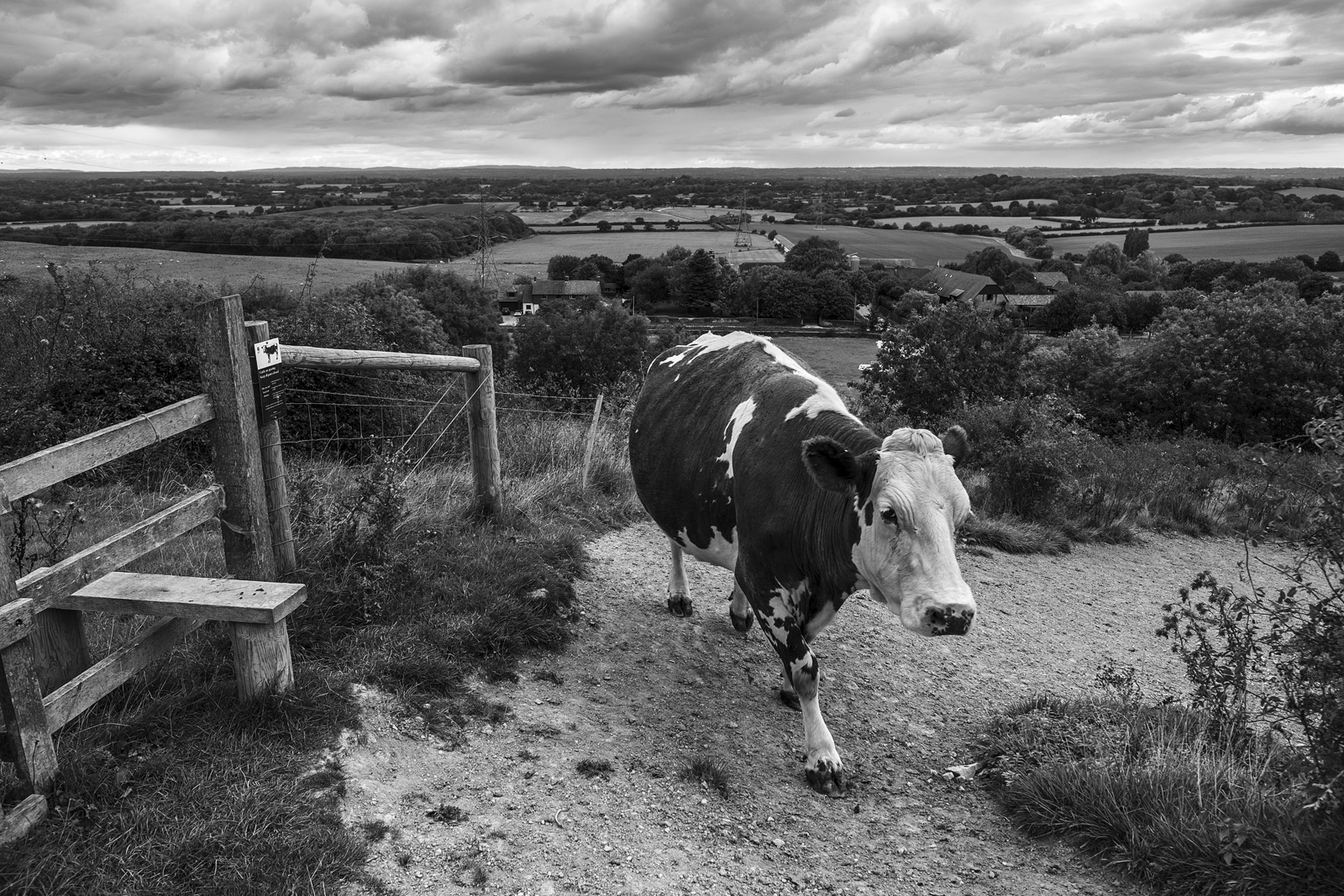 Cow on path next to stile with view over the low weald Edburton Escarpment West Sussex UK Black and white portrait rural landscape photography ©P. Maton 2018 eyeteeth.net