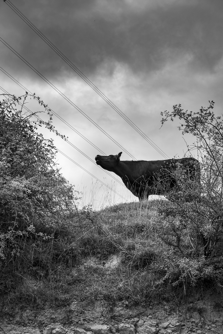 Black cow lowing with it's head in the air on grassy bank with shrubs and power lines in the cloudy sky Edburton Escarpment West Sussex UK Black and white portrait rural landscape photography ©P. Maton 2018 eyeteeth.net