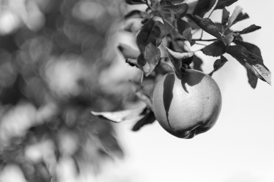 Cooking apple hanging on tree with foliage bokeh in background, black and white monochrome abstract landscape composition ©P. Maton 2018 eyeteeth.net