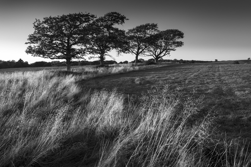 Four Oak trees in a row standing along fence line at edge of field with long dead grass in foreground catching evening sunlight, dramatic black and white rural British landscape photograph © P.Maton 2018 eyeteeth.net