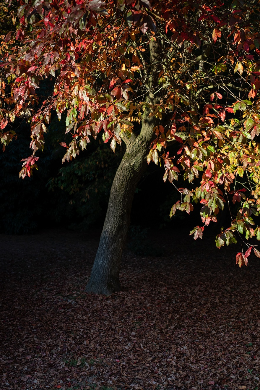 Red, yellow and green autumn leaves on tree illuminated by sunlight with dark shadows and fallen dead leaves on ground Sheffield Park East Sussex UK Colour portrait nature photograph © P. Maton 2018