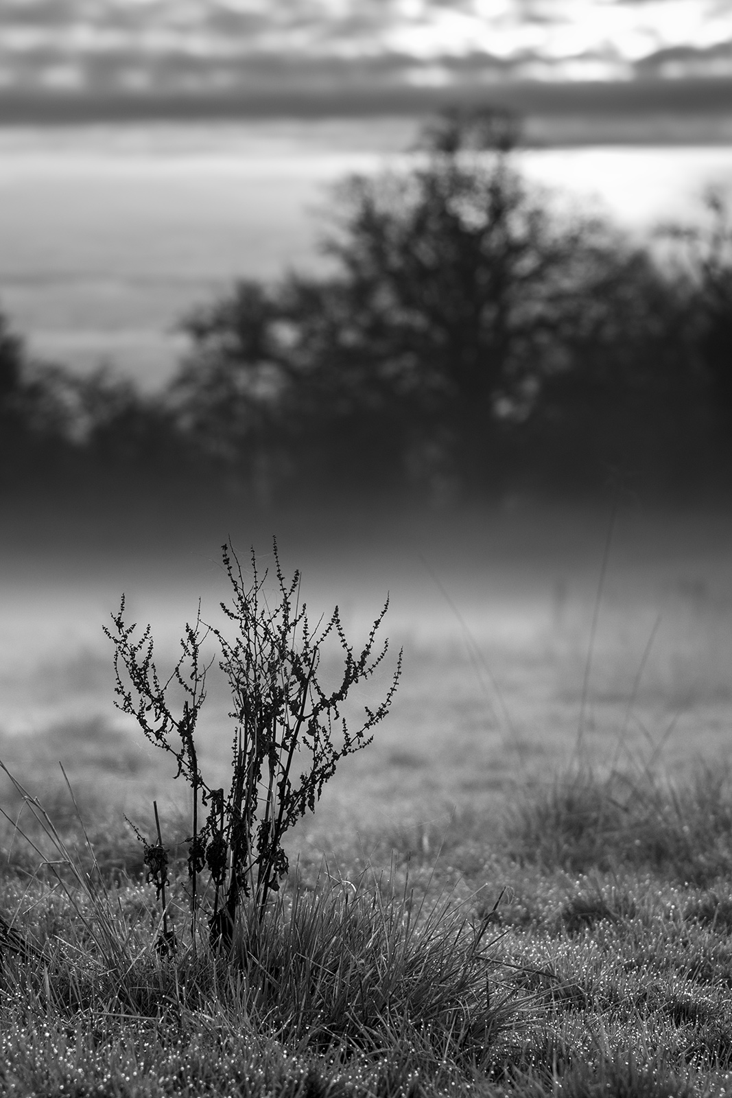 Dead dock plant standing in misty meadow with trees and evening sun in background Stratfield Mortimer Berkshire UK Meyer Optik Görlitz Orestegor 200mm f/4 lens, black and white portrait composition nature rural countryside documentary photograph ©P. Maton 2018 eyeteeth.net