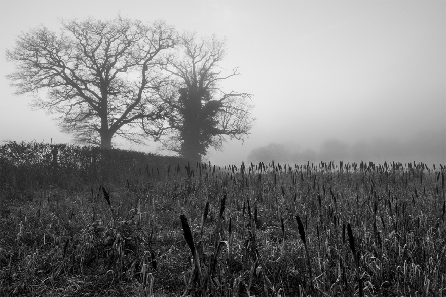 Dark Sorghum seed crop in foggy field with trees in distant mist Stratfield Mortimer Berkshire UK black and white landscape composition nature rural countryside documentary photograph ©P. Maton 2018 eyeteeth.net
