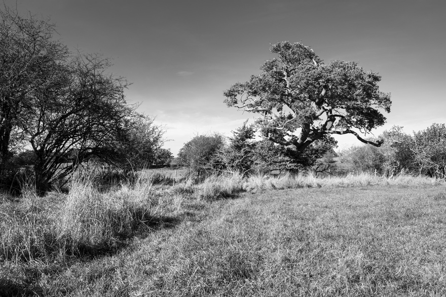 Oak tree standing near Blackthorn hedge, Mill lane Poinings West Sussex UK, black and white documentary landscape britain nature rural ©P. Maton 2018 eyeteeth.net