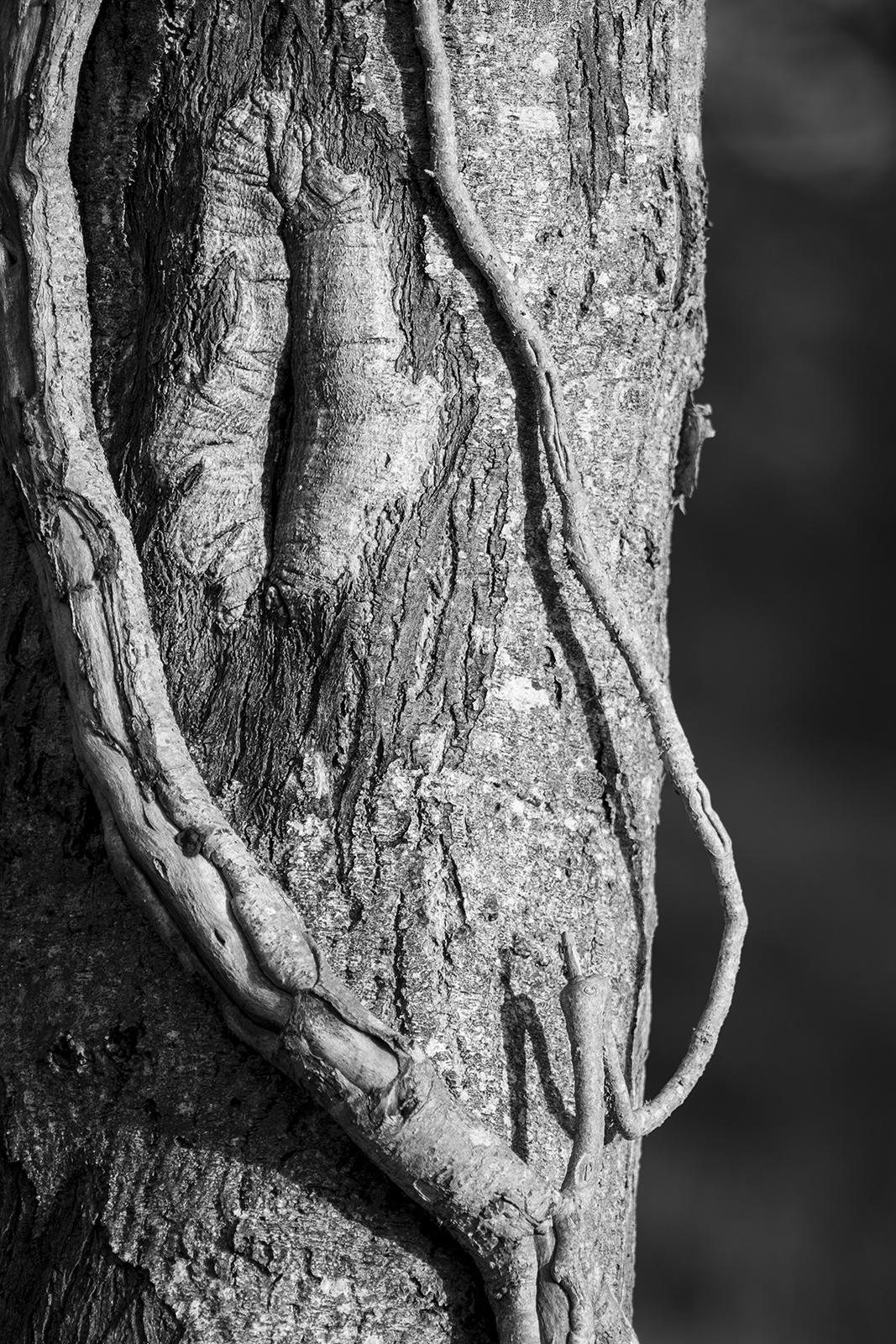 Ivy wrapped around scarred Alder trunk, black and white monochrome nature photography ©P. Maton 2018 eyeteeth.net