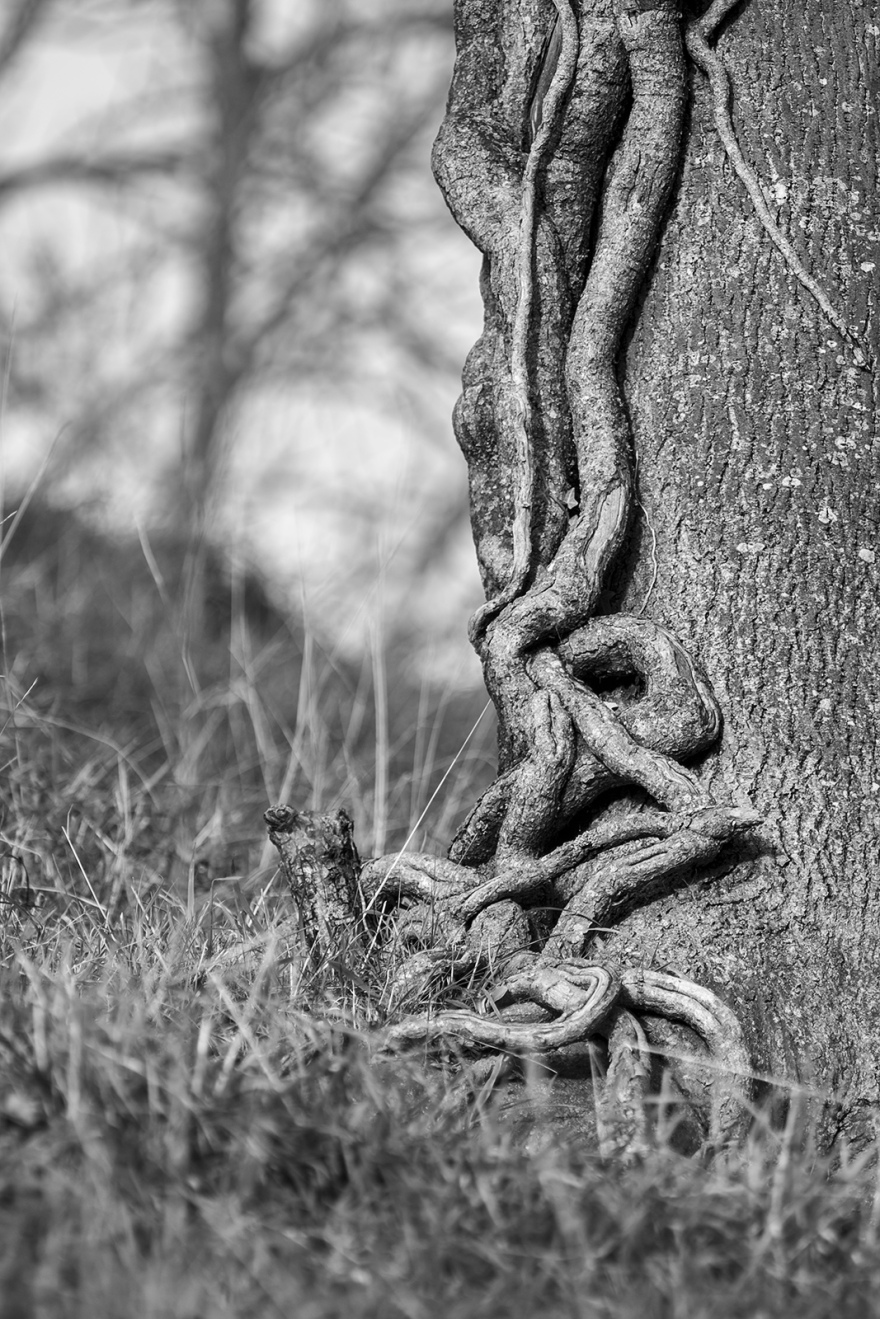 Ivy climbing up Ash tree trunk, black and white monochrome nature photography ©P. Maton 2018 eyeteeth.net
