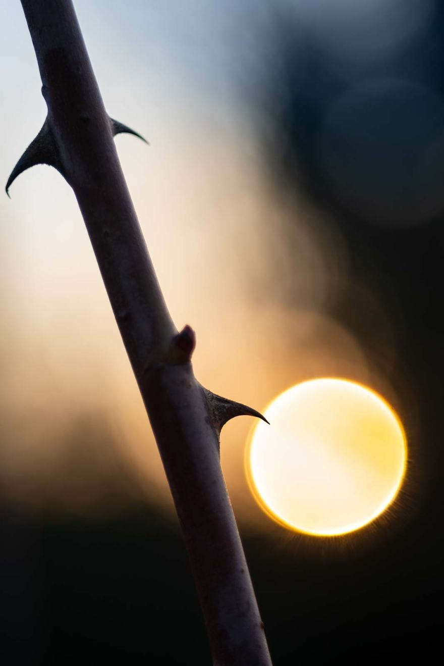 Rose thorn with setting sun in background circular bubble bokeh macro nature study ©P. Maton 2019 eyeteeth.net