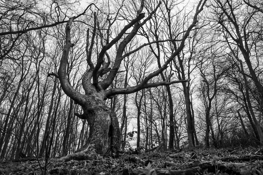 Twisted dead beech tree with boughs reaching upward surrounded by silhouetted ash trees, Chanctonbury Ring West Sussex UK black and white landscape nature ©P. Maton 2019 eyeteeth.net