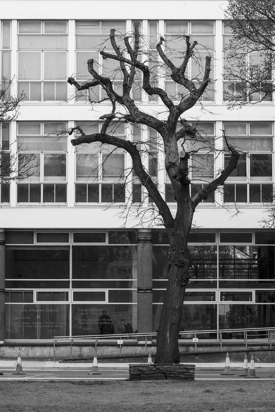 Truncated Elm tree in front of building with many windows black and white urban city street photograph portrait composition Grand Parade Brighton UK ©P. Maton 2019 eyeteeth.net